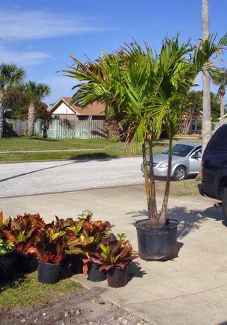 Feb Christmas Palm