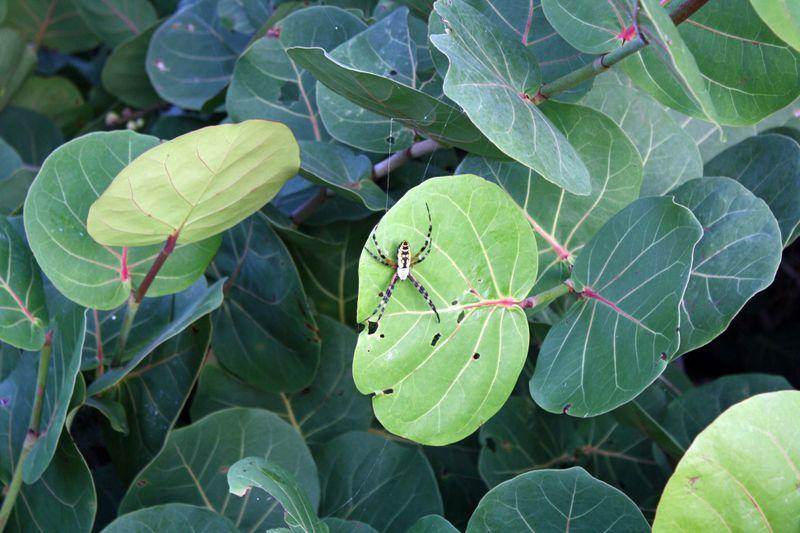 Spider on Grape Leaf 1