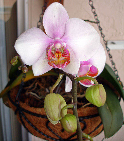 Blooming_orchid