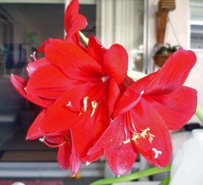 Amaryllis_flower