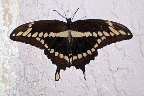 Swallowtail_1